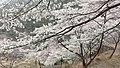 永瀬ダムの桜 - panoramio.jpg