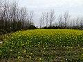 油菜花 - Rapeseed Blooming - 2010.04 - panoramio.jpg