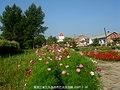 波斯菊 bipinnatus - panoramio.jpg