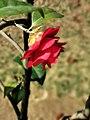 茶花-松子 Camellia japonica 'Songzi'(Pine Cone)20210214180451 08.jpg