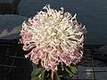 菊花-毛刺型 Chrysanthemum morifolium Thorns-series -中山小欖菊花會 Xiaolan Chrysanthemum Show, China- (9193425730).jpg