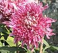 菊花-紅玫瑰 Chrysanthemum morifolium 'Red Rose' -香港圓玄學院 Hong Kong Yuen Yuen Institute- (12049309905).jpg