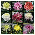 菊花 Chrysanthemum morifolium Cultivars 1 -上海嘉定匯龍潭公園 Jia Ding, Shanghai- (12099275613).jpg