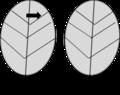 非洲堇葉片導管位置.png