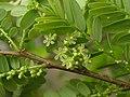 餘甘子 Phyllanthus emblica -香港馬灣公園 Ma Wan Park, Hong Kong- (9219902563).jpg