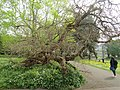 -2019-04-23 Mulberry tree, Torre Abbey, Devon.JPG
