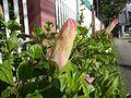 0931jfHibiscus rosa sinensis Linn White Pinkfvf 20.jpg