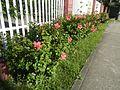 0985jfHibiscus rosa sinensis Linn White Pinkfvf 06.jpg