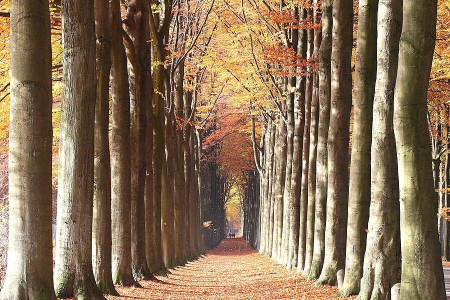 La Hestre (Belgium), the double European beech avenue (alley) of Domaine de Mariemont.