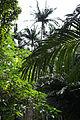 110321 Native forest of Satake palm trees Yonehara Ishigaki Island Japan06n.jpg