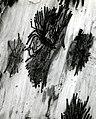 1955. Pseudohylesinus grandis egg galleries and larvae on inner bark of silver fir. Baker River District, Mt. Baker National Forest. Washington. (34466337570).jpg