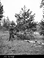 1958. Dr. T.W. Childs examining ponderosa pine branch infested by the midge, Retinodiplosis sp. Canyon-Izee Road, Malheur National Forest, Oregon. (37819853965).jpg