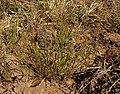 1 Goodenia fascicularis habitus.jpg