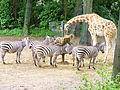 2006 burgers zoo zebras giraffe.JPG