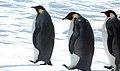 2007 Snow-Hill-Island Luyten-De-Hauwere-Emperor-Penguin-95.jpg