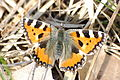 2010-04-02 (20) Kleiner Fuchs, Aglais urticae.JPG