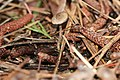 2011-12-17 Dendrocollybia racemosa (Pers.) R.H. Petersen & Redhead 190400.jpg