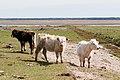 20110507-05(Engures ezera savvaļas govis).jpg