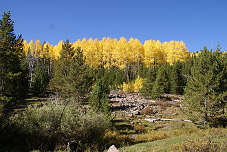 Ashley National Forest - Quaking aspen in the Vernal Ranger District of the Ashley National Forest