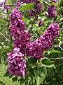 2014-05-18 11 30 12 Lilac in Elko, Nevada.JPG