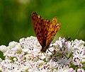 2014-06-26 12-47-32 Brenthis daphne.jpg