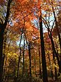 2014-10-30 13 20 19 Trees during autumn in the woodlands along the West Branch Shabakunk Creek in Ewing, New Jersey.JPG