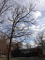 2014-12-30 12 12 53 White Oak near Metzger Drive at the College of New Jersey in Ewing, New Jersey.JPG