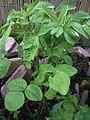 20140523 - Trigonella caerulea.jpg