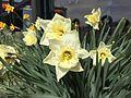 2015-03-16 12 27 28 Daffodils on Idaho Street (Interstate 80 Business) in Elko, Nevada.JPG