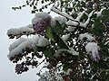 2015-05-07 07 16 51 New green leaves and flowers covered by a late spring wet snowfall on a Lilac on South 9th Street in Elko, Nevada.jpg
