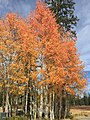 2015-09-29 12 02 04 Orange fall foliage on Aspens in Brighton, Utah.jpg