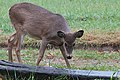 2015-365-300 Deer Skeptical One (22358647188).jpg