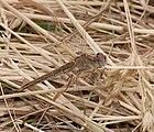 2015.05.24.-19-Buchklingen--Fruehe Heidelibelle-Weibchen.jpg