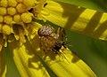 2015.06.26.-06-Mannheim Vogelstang--Braune Krabbenspinne-junges Weibchen.jpg