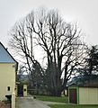 2016-02-28 Kandelaberlinde-Breckerfeld NRW.jpg