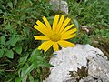 2017-07-22 (12) Buphthalmum salicifolium (ox-eye) at Dürrenstein, Lower Austria.jpg