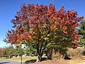 2017-11-23 13 41 42 A Bradford Pear in late autumn along Kinross Circle in the Chantilly Highlands section of Oak Hill, Fairfax County, Virginia.jpg