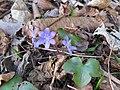 2018-03-13 (104) Hepatica nobilis (Liverleaf) at Haltgraben in Frankenfels.jpg