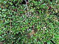 2018-06-18 (114) Cotoneaster dammeri (carpet cotoneaster) at Bichlhäusl in Frankenfels, Austria.jpg