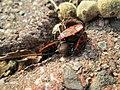 20180221Pyrrhocoris apterus2.jpg
