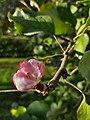 20190822 Apple tree is blooming in autumn 02.jpg