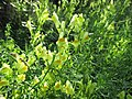 20200918Linaria vulgaris1.jpg
