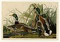 221 Mallard Duck.jpg