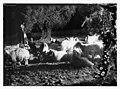 23rd Psalm, sheep LOC matpc.10075.jpg