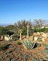 2 young Aloidendron pillansii - Karoo Desert National Botanical Gardens.jpg
