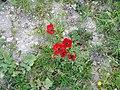 42 Umm Qais poppies.jpg