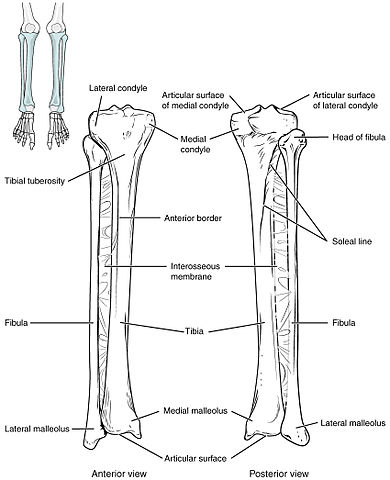 File811 Tibia And Fibulag Wikimedia Commons