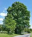 AB ND15 Quercus.jpg