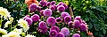 ADD SOME COLOUR TO YOUR LIFE (FLOWERS IN A PUBLIC PARK)-120138 (28650176114).jpg