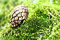 A brown Cone of Pine-tree on green moss.JPG